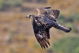 Honey-Buzzard-Aug_8216 | by Stephen Daly
