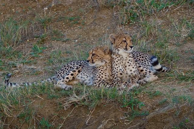 Affectionate Cheetah Cubs around sunset