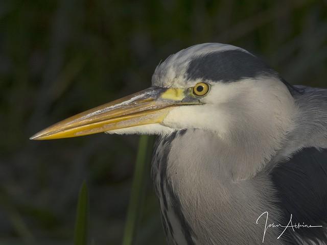 Grey Heron at Nene Park.