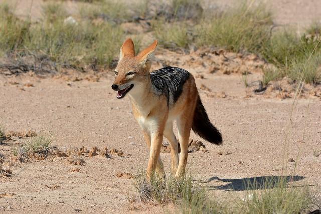 Black-backed Jackal in the Etosha National Park, Namibia.