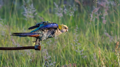 pale headed rosella takeoff | by piggsyface