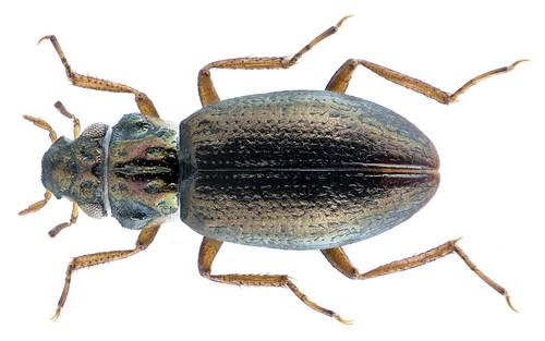 Ochthebius schneideri ssp. schneideri Kuwert, 1887 | by urjsa