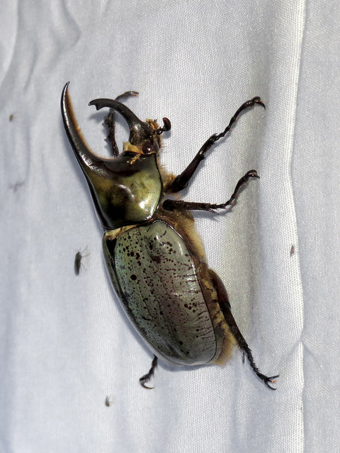 Grant's Hercules Beetle