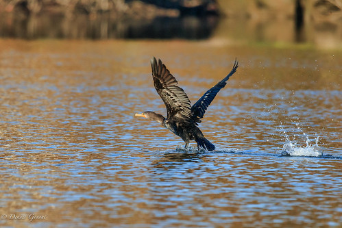 virginia action autumn bird cormorant fall flicker sunrise water wildlife chester unitedstates us
