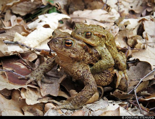 20170402_01k Common toads (Bufo bufo) (?) in amplexus   Skatås, Gothenburg, Sweden