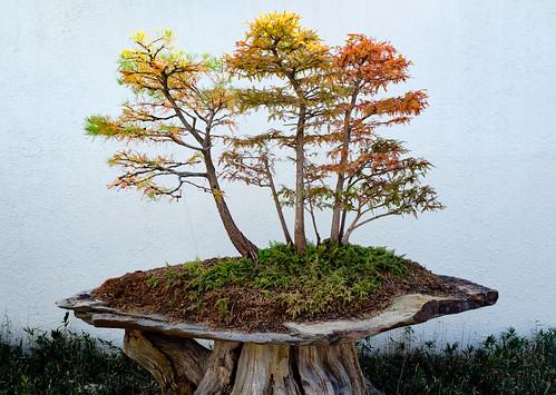 trees x100f bonsaigarden washington autumn bonsai nature fall fuji yellow green nationalarboretum dc fujifilm red districtofcolumbia unitedstates us hct