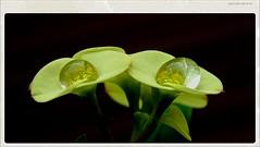 Beautiful Euphorbia Milii