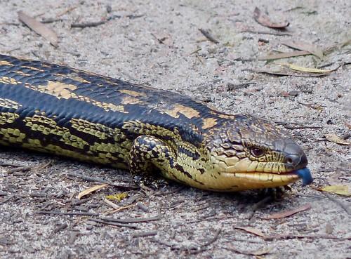 Blotched Blue-tongue Lizard   by bgwashburn