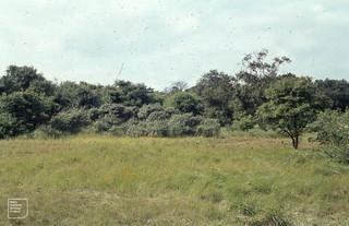 Dune woodland, Meijendel. Calamagrostis epigejos, hawthorn, dogwood, sallow, willow, birch, pine, oak, Elder, etc 04/09/1965
