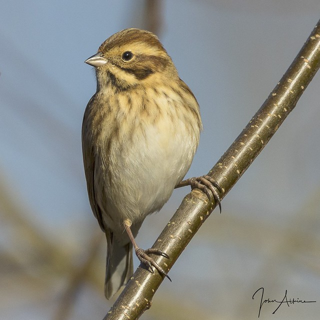 Reed Bunting ( female ) 28/11/17.