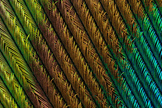 Peacock Feather (4) | by Can Tunçer