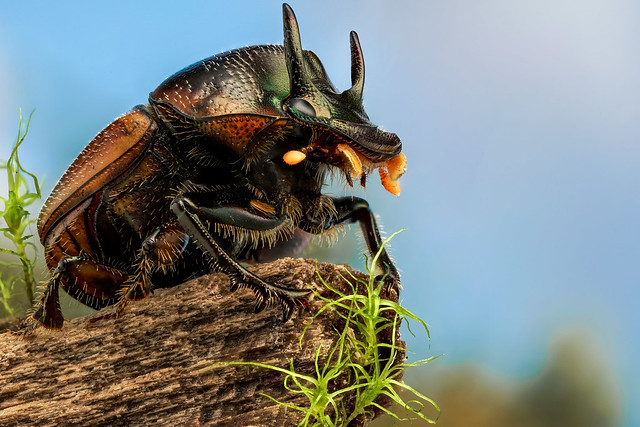 Two-horned dung beetle