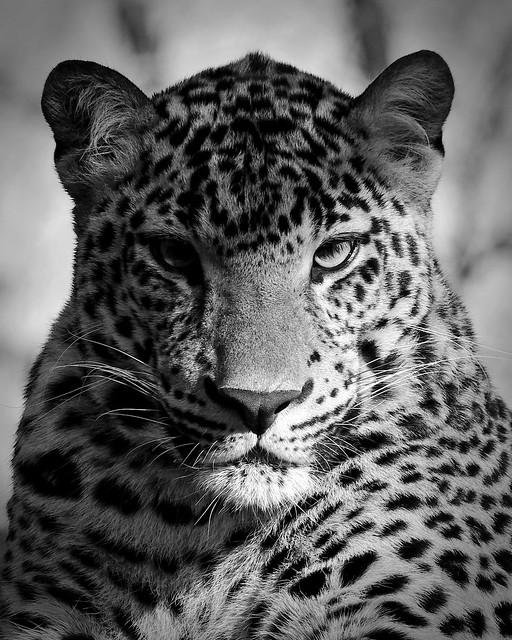 Leopard - The Columbus Zoo 11/14/17