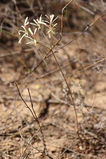 Pelargonium pallidoflavum in wild
