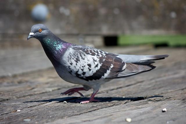 Rock Dove (Pigeon) 002