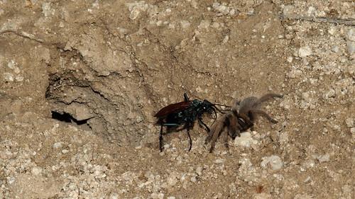 arizona tucson spiders insects wasps botanicalgardens tarantulas tarantulahawk tarantulahawkwasp aphonopelma pepsis tohonochulpark desertviewtrail spiderwasps earthnaturelife desertcorner pompilidwasps pepsis20150701 tohonochulpark20150701