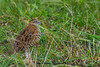 Barred buttonquail 1400-0076 by Rudy_Whistlingtrails