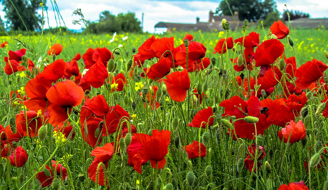 Poppy Field (Rating:7)
