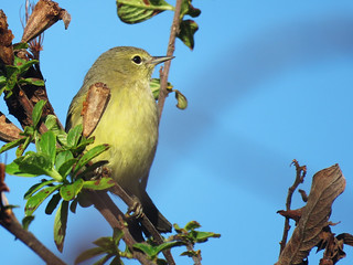 Orange-crowned Warbler | by magnificentfrigatebird