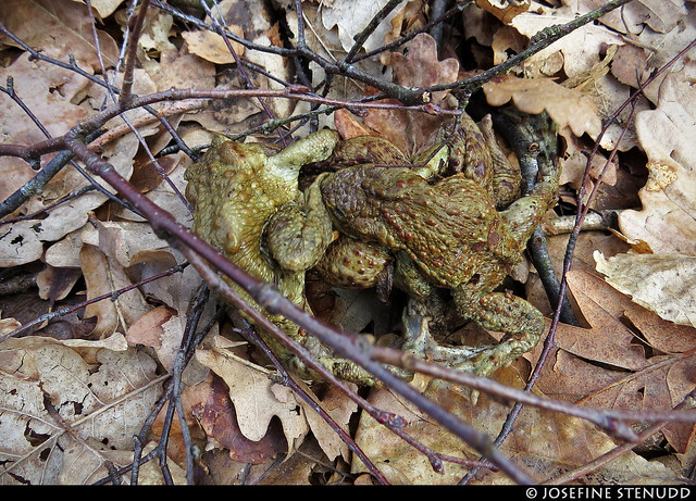 20170402_05k Common toads (Bufo bufo) (?) disagreeing about threesome so one is getting kicked in the face   Skatås, Gothenburg, Sweden