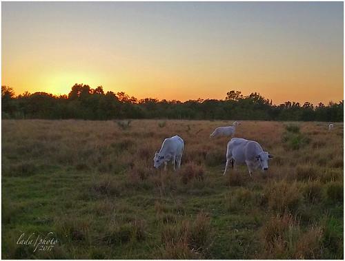pasture animals ladaphoto sunset fl ftmyersfl