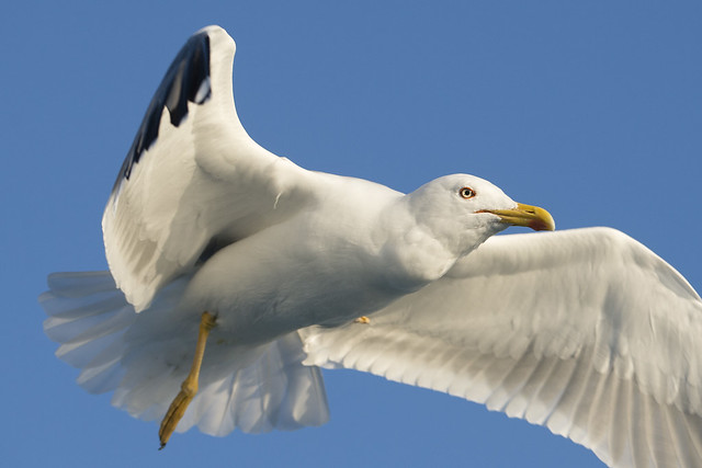 Gabbiano reale - Yellow-legged gull