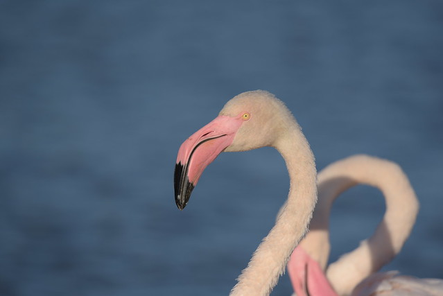 flamingo's eye