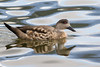 Pato Creston - Lophonetta specularioides - Crested Duck by Jorge Schlemmer