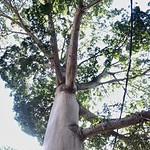 Ceiba la blanca