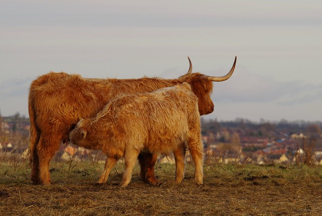 Highland cattle sheffield (5)