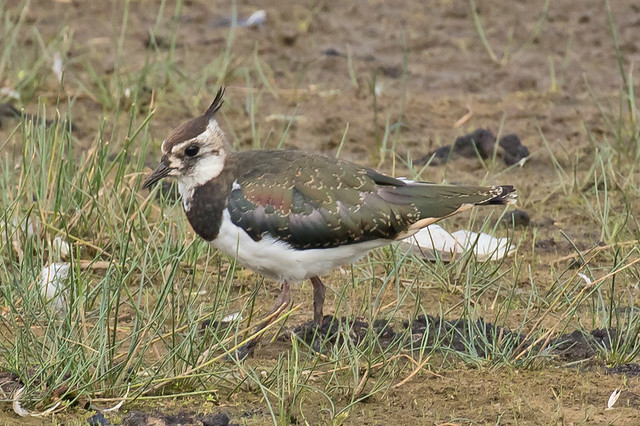 _W4A9543 Northern Lapwing (Vanellus vanellus)