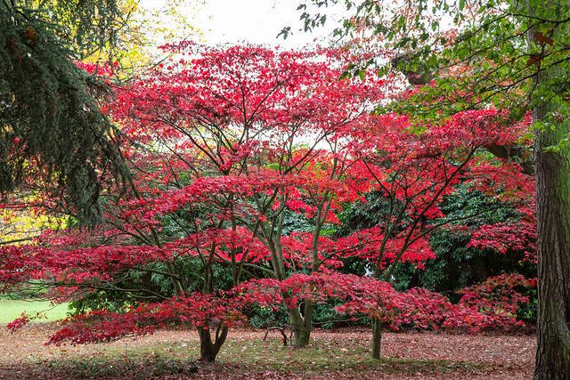 Japanese Maples at Capel Manor