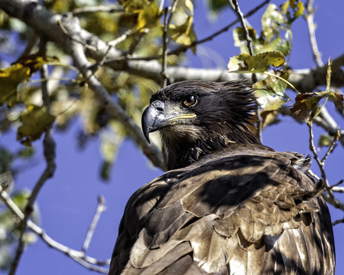 Young Eagle | by lennycarl08