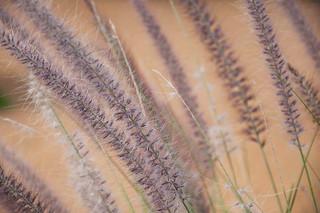 Grasses on Margaret Island, Budapest, Hungary