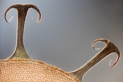 Bryozoan statoblast, Fragilaria sp. | by pwnell
