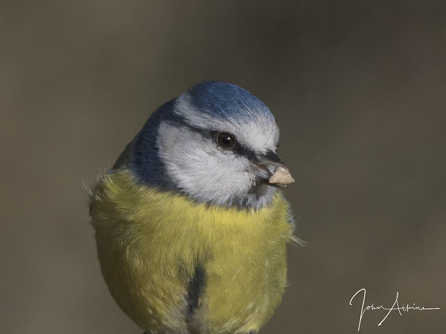 Blue Tit at Ferry Meadows.