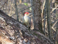 Red-bellied Woodpecker, Blue Spruce Co. Park, Indiana, PA 11/11/2017