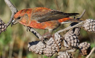 Red Crossbill DSC_5206 | by richmondbrian