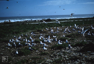 Crested terns and Hartlaubs gulls, Robben Island.