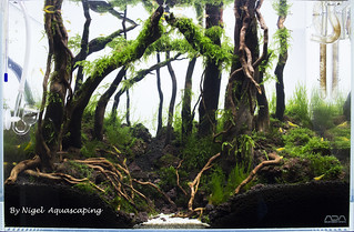 ada 45p forest day 56 by nigel aquascaping | by nigel_kh