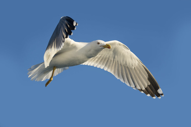 Gabbiano reale - Yellow-legged gull