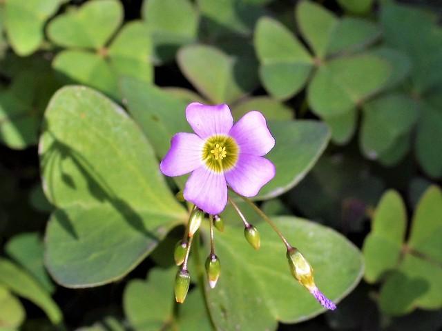 Little Flower oxalis
