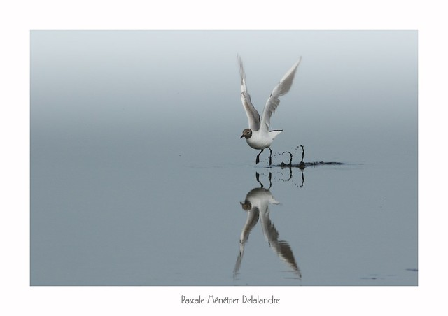 Mouette rieuse - Black-headed Gull