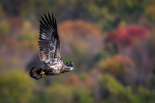 americanbaldeagle autumn wings baldeagle color wildlife nature bird birdsofprey raptor bif fly eagle birdsinflight juvenile darlington maryland unitedstates us nikon d500