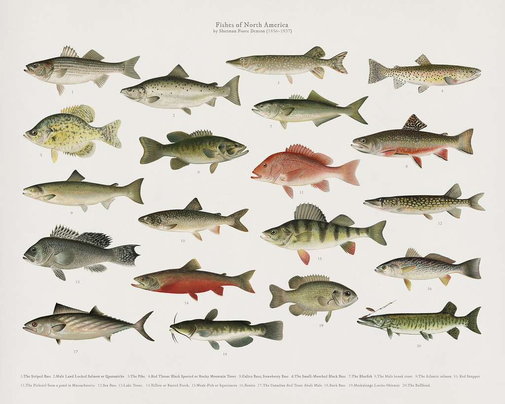 Set of fish illustrations by Denton in Fishes of North Ame