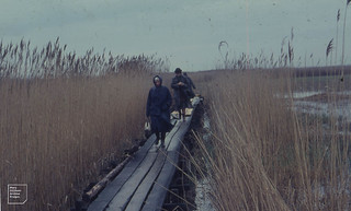 Causeway thro' reeds to Neusiedl Biological Station. 1965