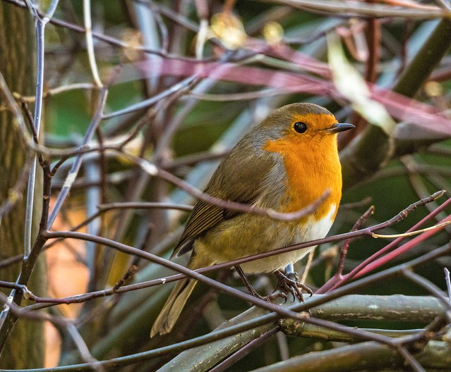 Robin outside of my window