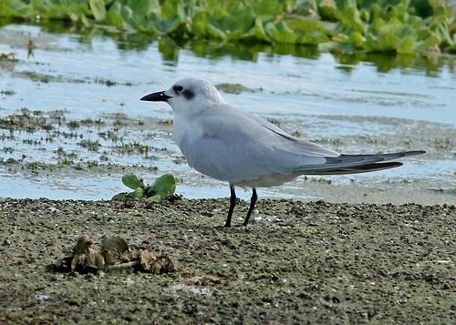 taxonomy:binomial=gelochelidonnilotica centralflorida marykeim orlandowetlandspark