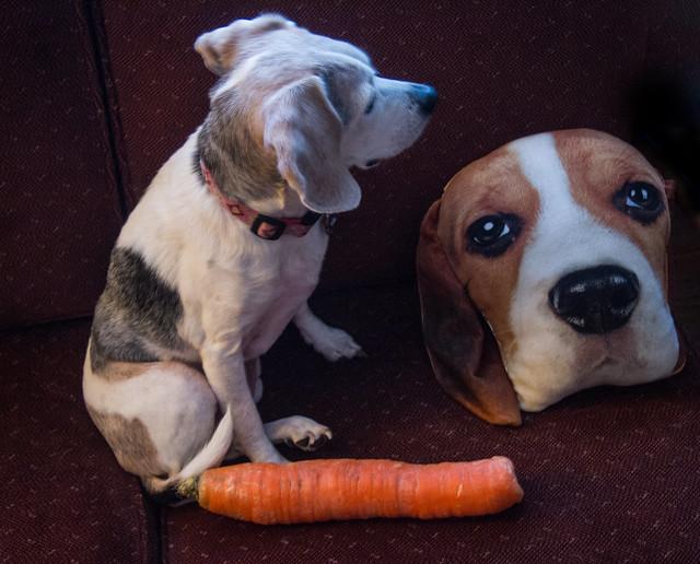 Beagle & carrot