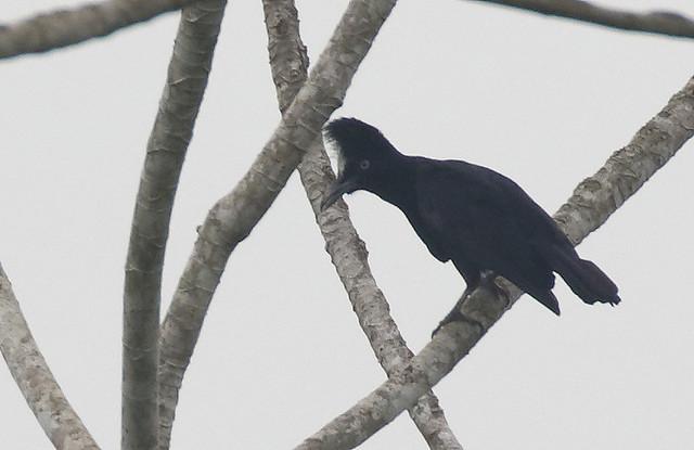 Amazonian Umbrellabird_17-09-21_ Cephalopterus ornatus